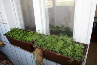 как вырастить укроп на подоконнике в квартире